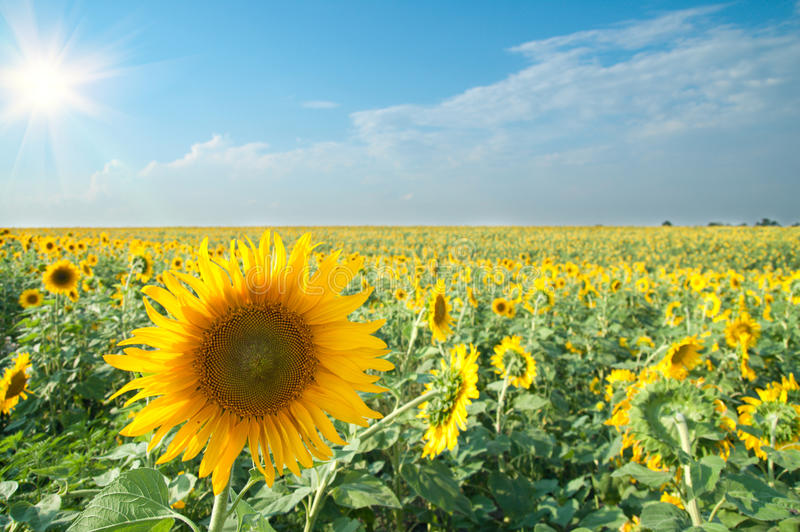 солнцецветы солнца стоковое фото