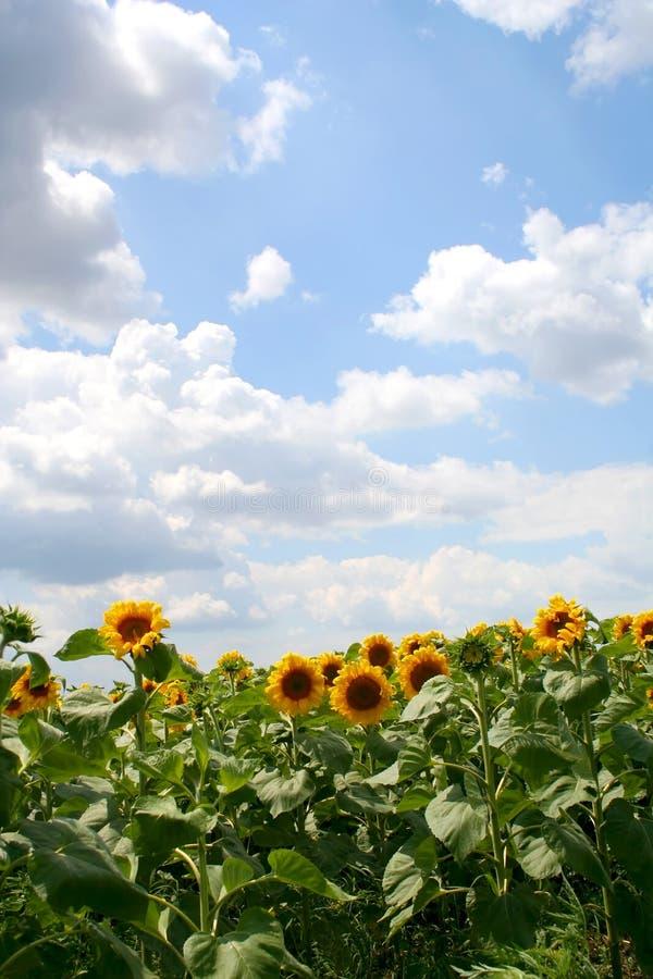 Download солнцецветы стоковое изображение. изображение насчитывающей масло - 480967