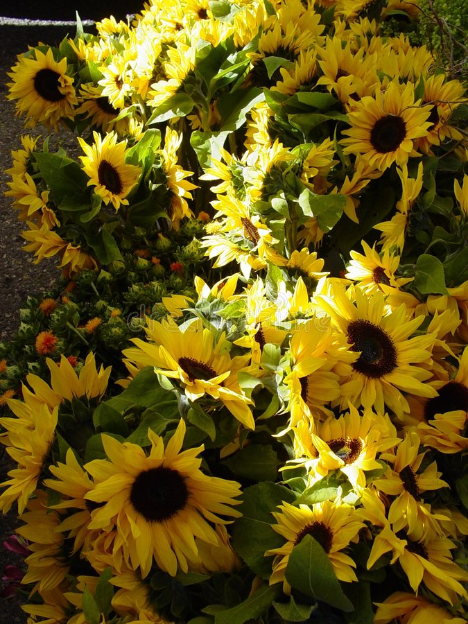 Download солнцецветы стоковое изображение. изображение насчитывающей хуторянин - 78097