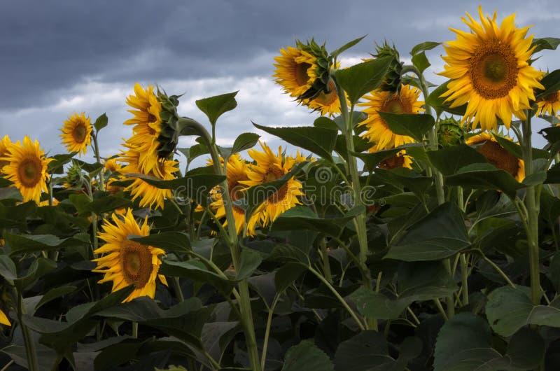 Солнцецветы - annuus подсолнечника стоковое фото