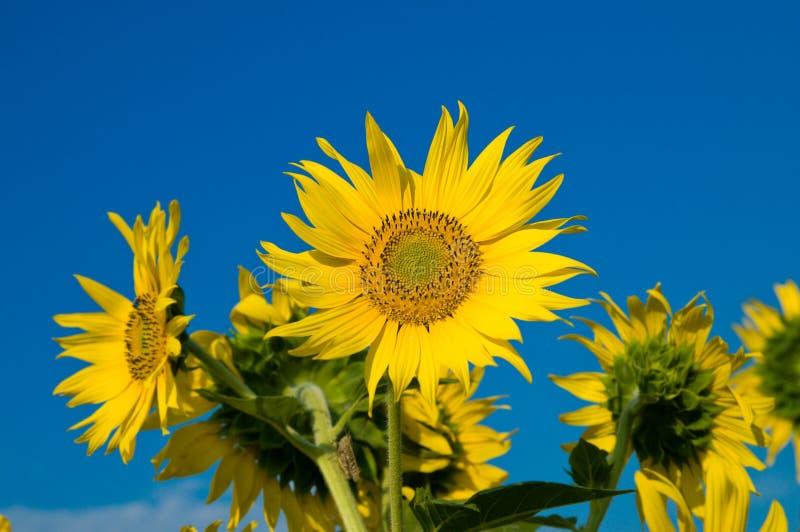 солнцецветы familie стоковая фотография