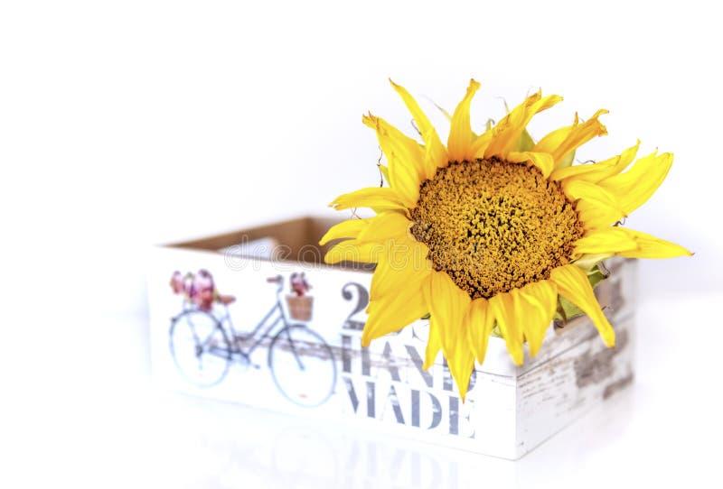 Солнцецвет в коробке комода на белой изолированной предпосылке, конец вверх, стоковые фотографии rf