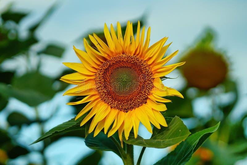 Солнцецвет в поле в солнечном дне стоковая фотография