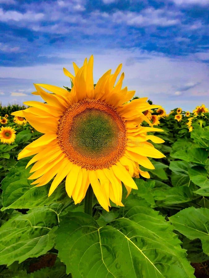 Солнцецвет в поле стоковая фотография rf