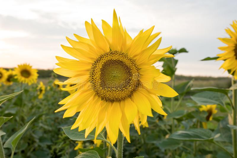 Солнцецвет в поле солнцецветов стоковые изображения rf