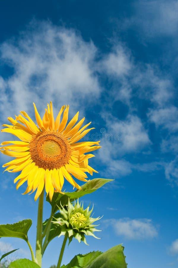 солнцецвет голубых небес стоковые фотографии rf