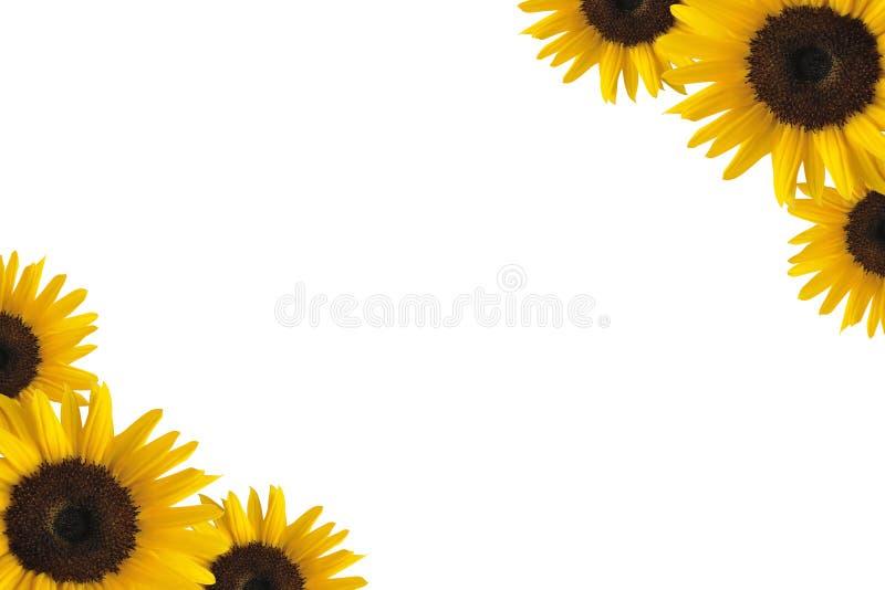 солнцецвет граници стоковое изображение