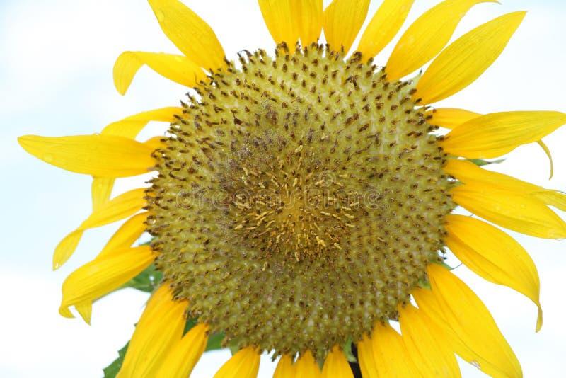 Солнцецвет зацветая на дереве с белой предпосылкой неба, желтые солнцецветы культивируется для их съестных семян стоковое изображение rf