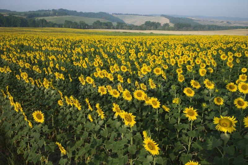 солнцецвет Италии поля сельской местности стоковые фото