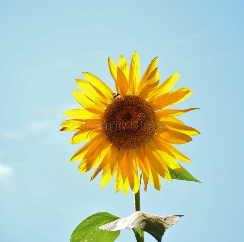 Солнцецвет и оса стоковое изображение rf