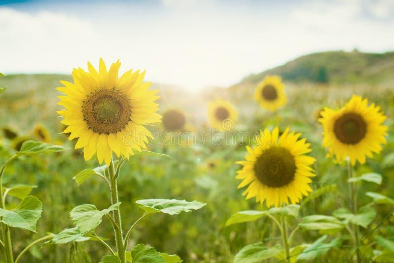 Солнцецвет и яркое солнце против голубого неба стоковые фотографии rf