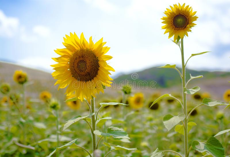 Солнцецвет и яркое солнце против голубого неба стоковые изображения