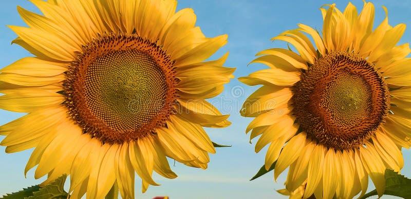 Солнцецвет Красивый золотой солнцецвет стоковое фото