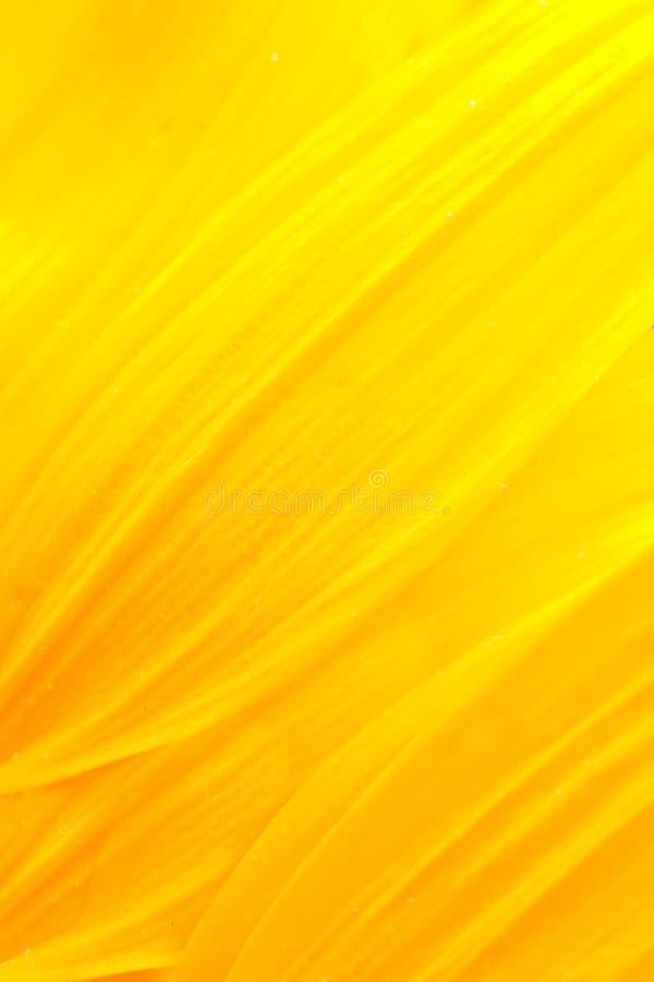 солнцецвет лепестков стоковые изображения
