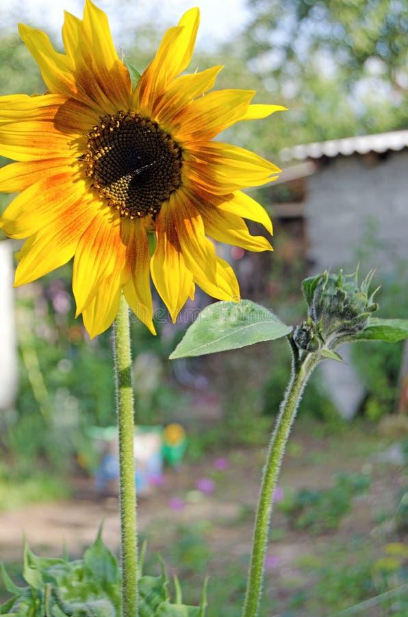 Солнцецвет летом Цветковые растения стоковое изображение
