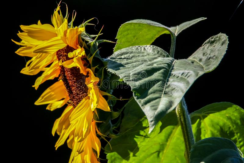 Солнцецвет на черной предпосылке стоковое фото