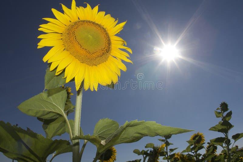 солнцецвет неба стоковое фото