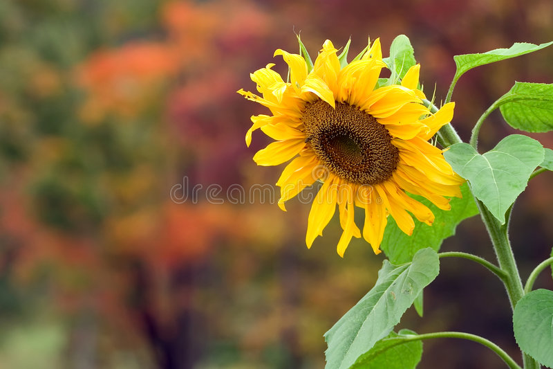 солнцецвет падения стоковое фото rf