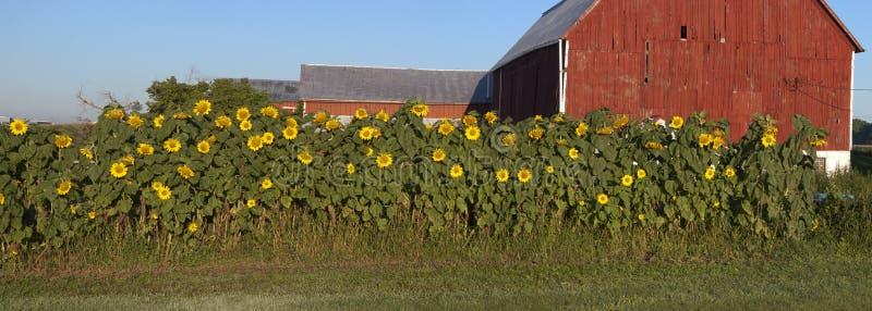 солнцецвет панорамы сада фермы амбара панорамный стоковые изображения rf