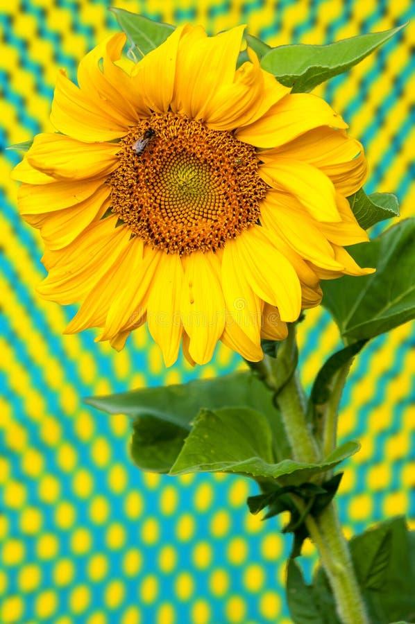Солнцецвет, подсолнечник стоковое фото rf