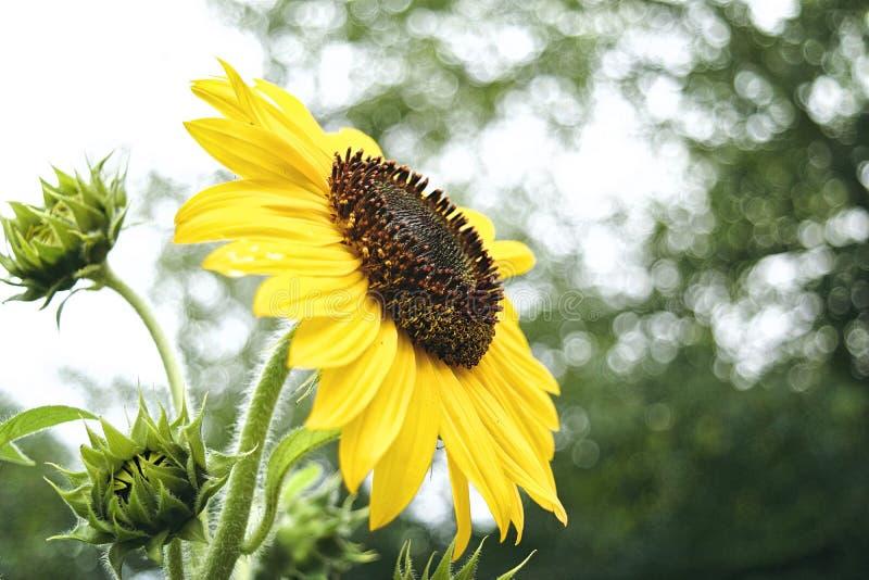 Солнцецвет полностью зацветает стоковое изображение rf