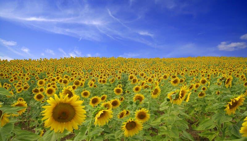 солнцецвет поля стоковая фотография rf