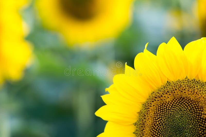 солнцецвет предпосылки близкий вверх близкий солнцецвет Венгрии поля вверх стоковое фото rf