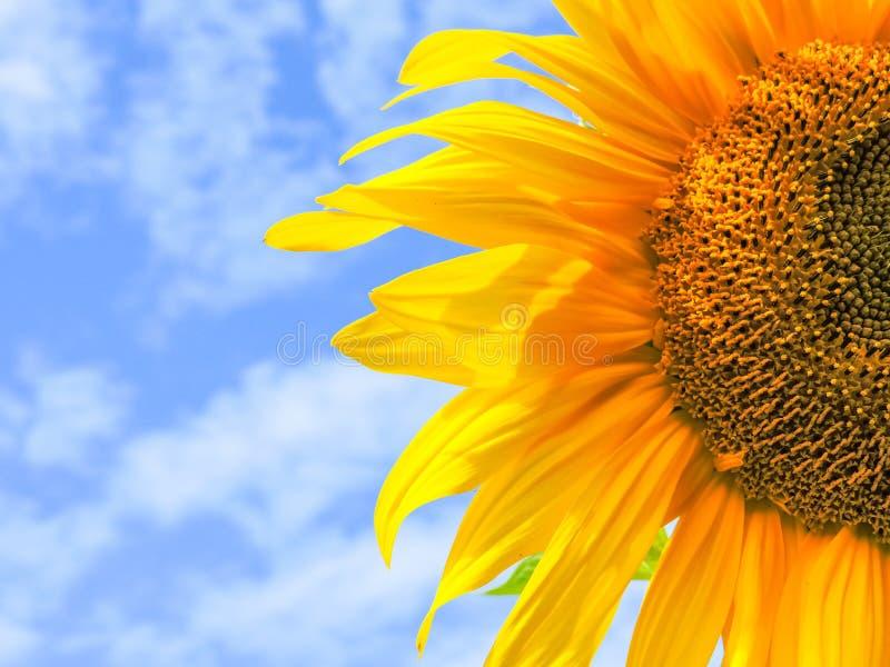 солнцецвет предпосылки естественный Зацветать солнцецвета близкий солнцецвет вверх зацветая солнцецветы поля Взгляд сверху стоковая фотография