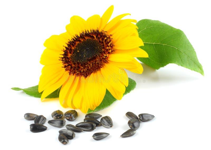 Солнцецвет при зеленые лист и семена изолированные на белой предпосылке стоковое фото