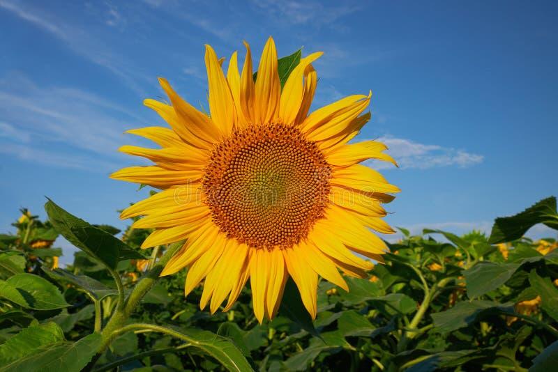 Солнцецвет против голубого неба в лете стоковые изображения