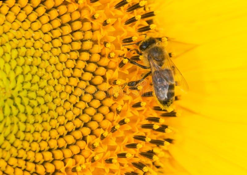солнцецвет пчелы Стоковые Фото
