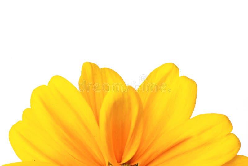 солнцецвет рамки предпосылки стоковая фотография rf