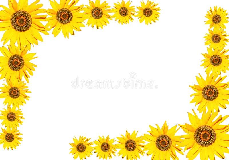 солнцецвет рамки стоковое фото