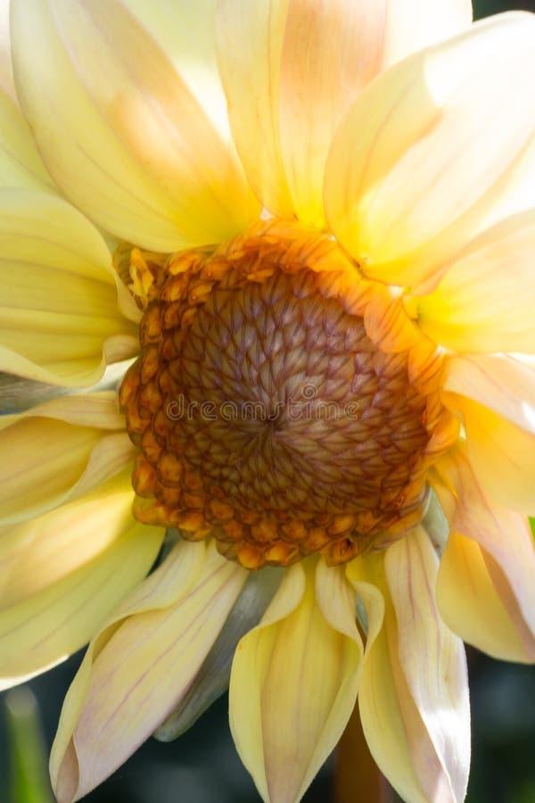 Солнцецвет раскрывая и достигая к солнцу стоковое изображение