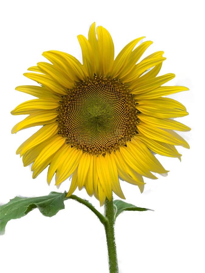 Солнцецвет с белой предпосылкой, изолированным изображением стоковое изображение