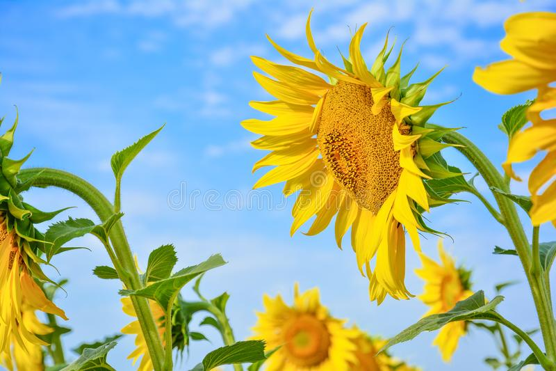 Солнцецвет с очень большими золот-излучаемыми цветками Желтое helianthu стоковое изображение