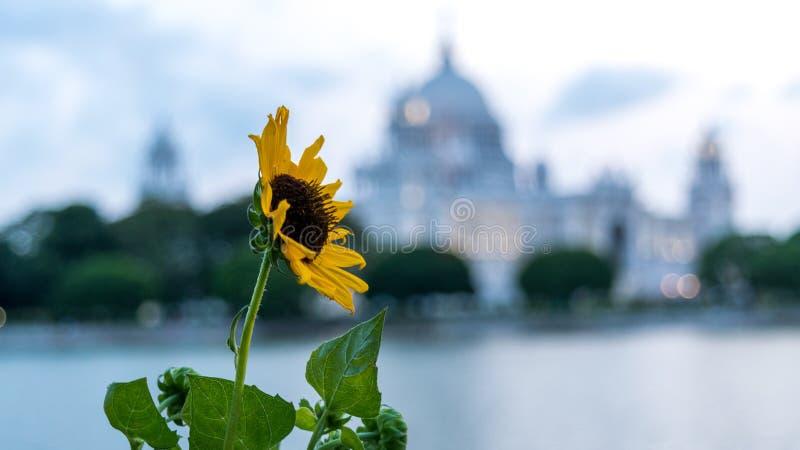 Солнцецвет с расплывчатым мемориалом Виктории стоковая фотография