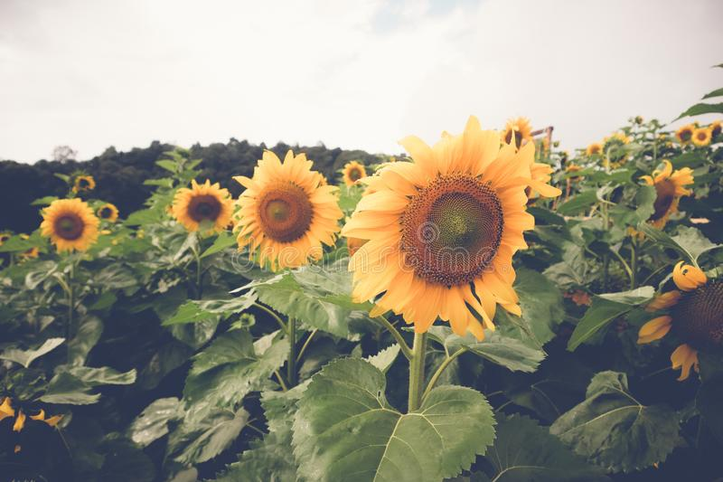 Солнцецвет с стилем влияния фильтра ретро винтажным стоковое фото rf