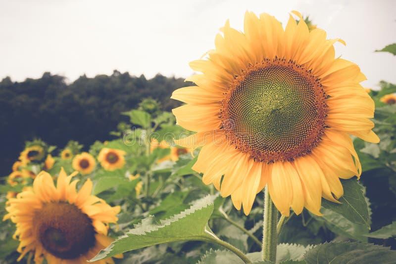 Солнцецвет с стилем влияния фильтра ретро винтажным стоковая фотография rf