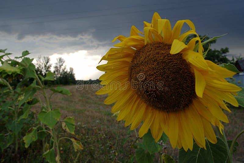 Солнцецвет с темными, бурными облаками стоковое изображение