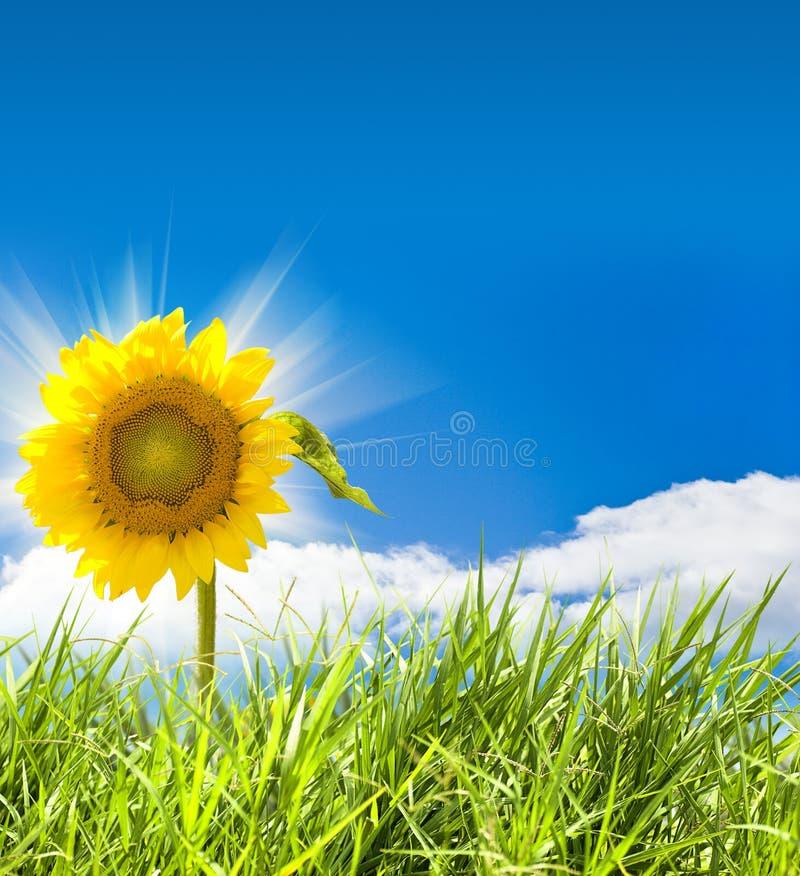 солнцецвет травы стоковая фотография