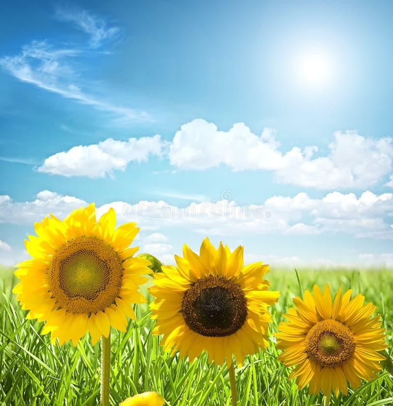 солнцецвет травы стоковые изображения