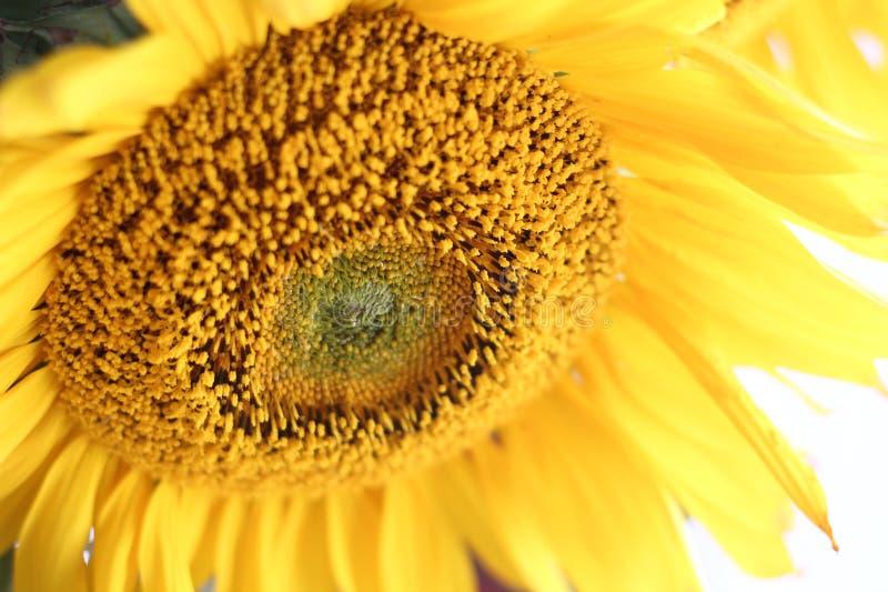 солнцецвет цветения стоковые изображения