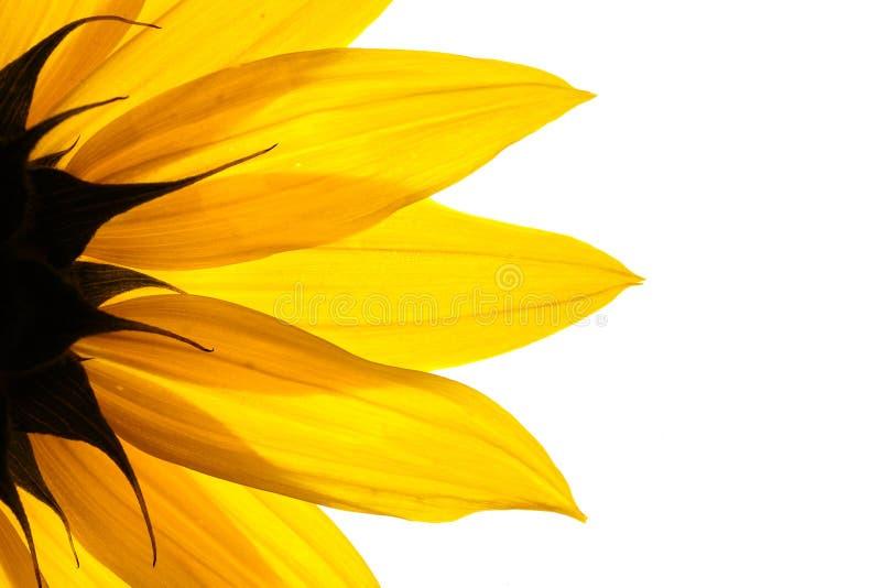 солнцецвет цветка стоковая фотография rf