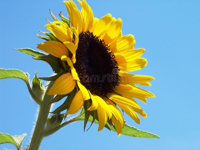 солнцецвет 2 стоковая фотография rf