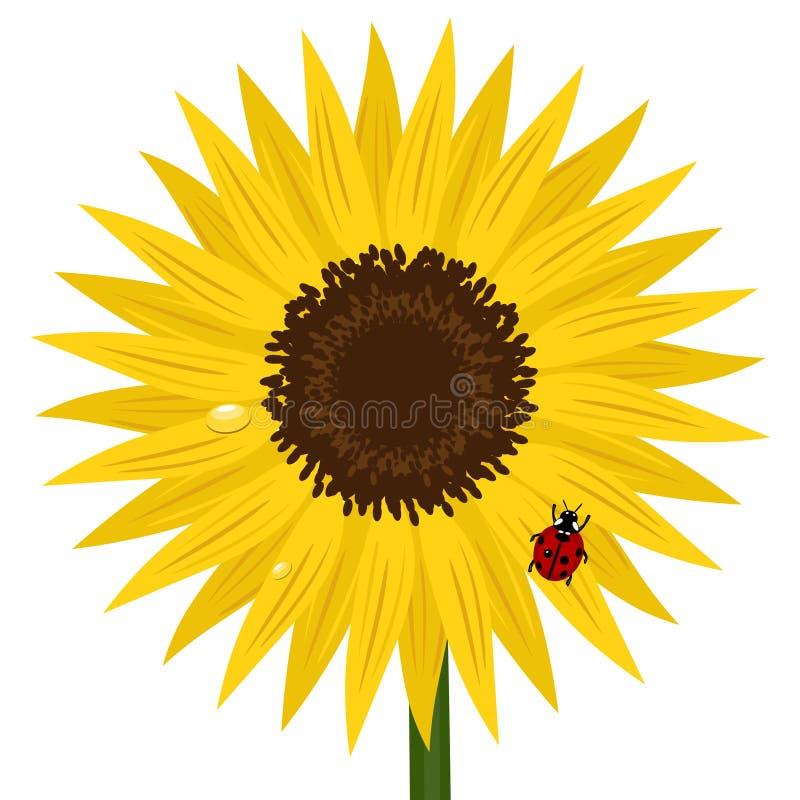 солнцецвет ladybird росы бесплатная иллюстрация