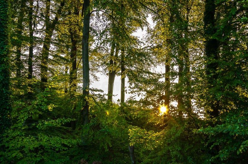 Солнце выходить деревья в лесе стоковая фотография