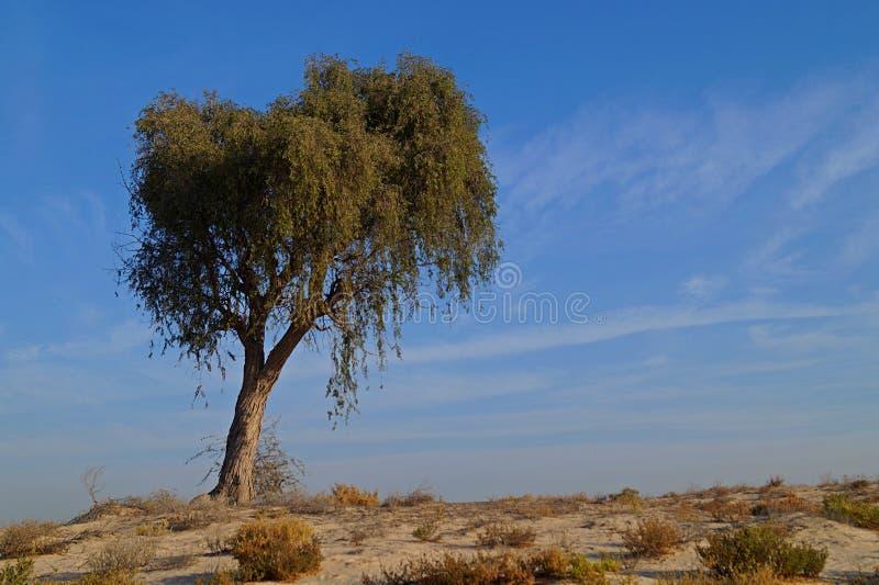 Солнце в пустыне с деревом стоковые изображения rf