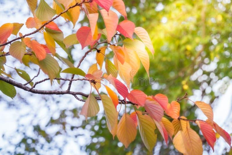 Солнце излучает светить через листья осени в парке Киото стоковое фото
