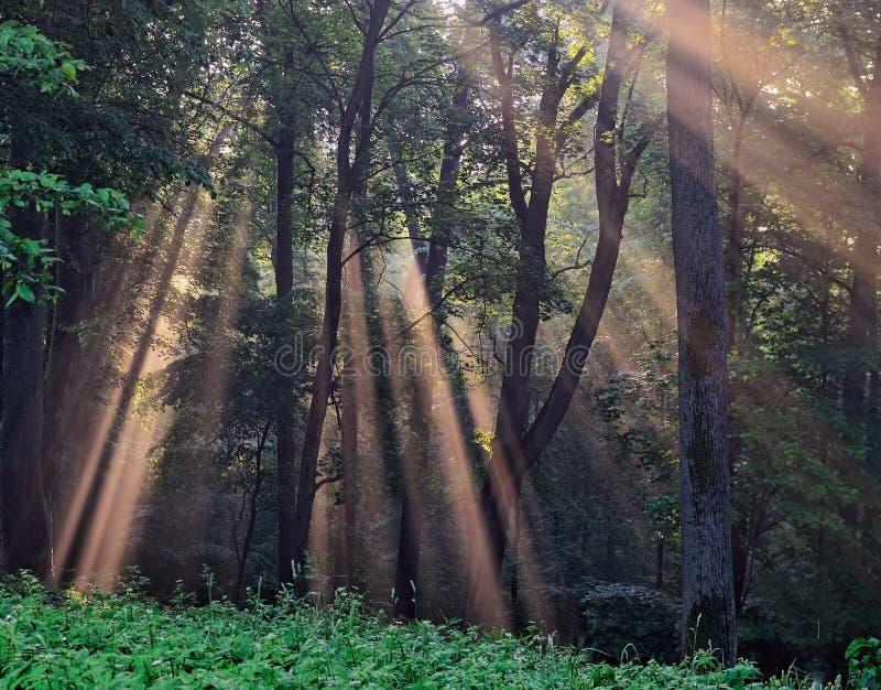солнце лучей пущи скрещивания туманное стоковое фото